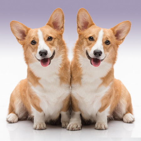 two corgie puppies representing exact match keywords